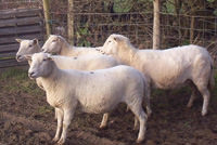 Picture of easy care sheep